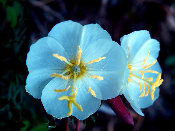 Whitest Evening Primrose (Oenothera Albicaulis) http://www.sagebud.com/whitest-evening-primrose-oenothera-albicaulis
