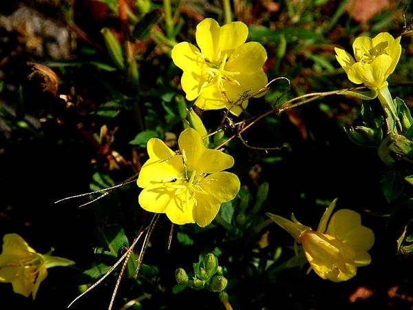 Common Evening Primrose (Oenothera Biennis) http://www.sagebud.com/common-evening-primrose-oenothera-biennis