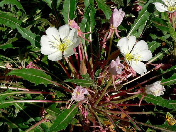Tufted Evening Primrose (Oenothera Caespitosa) http://www.sagebud.com/tufted-evening-primrose-oenothera-caespitosa