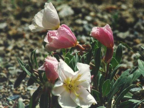 California Evening Primrose (Oenothera Californica)