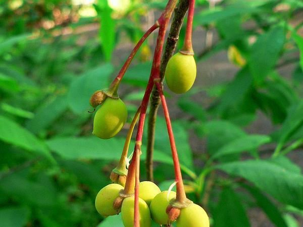 Indian Plum (Oemleria Cerasiformis) http://www.sagebud.com/indian-plum-oemleria-cerasiformis