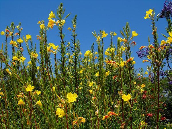 Hooker's Evening Primrose (Oenothera Elata) http://www.sagebud.com/hookers-evening-primrose-oenothera-elata