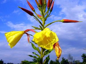 Redsepal Evening Primrose