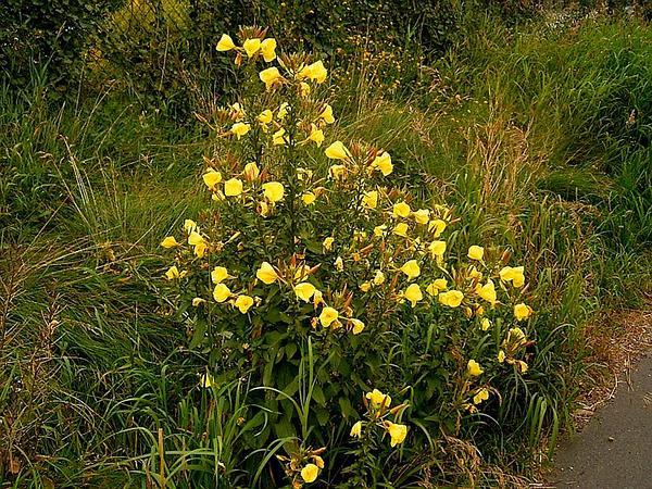 Redsepal Evening Primrose (Oenothera Glazioviana) http://www.sagebud.com/redsepal-evening-primrose-oenothera-glazioviana