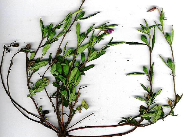 Kunth's Evening Primrose (Oenothera Kunthiana) http://www.sagebud.com/kunths-evening-primrose-oenothera-kunthiana