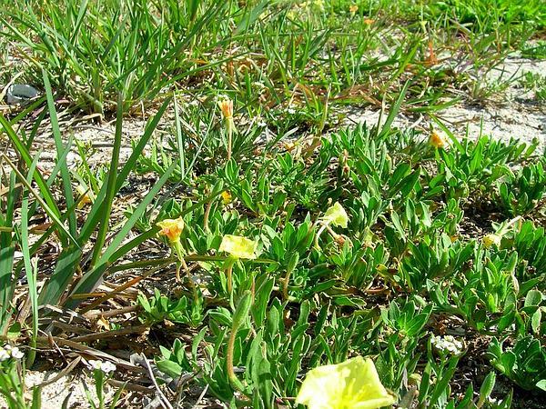 Cutleaf Evening Primrose (Oenothera Laciniata) http://www.sagebud.com/cutleaf-evening-primrose-oenothera-laciniata/