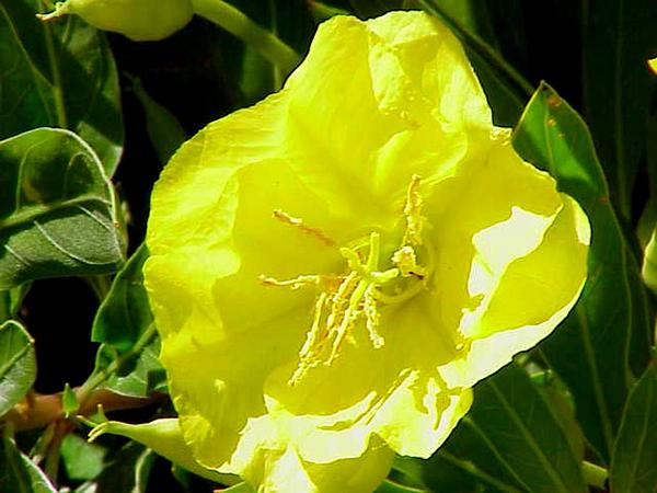 Bigfruit Evening Primrose (Oenothera Macrocarpa) http://www.sagebud.com/bigfruit-evening-primrose-oenothera-macrocarpa/