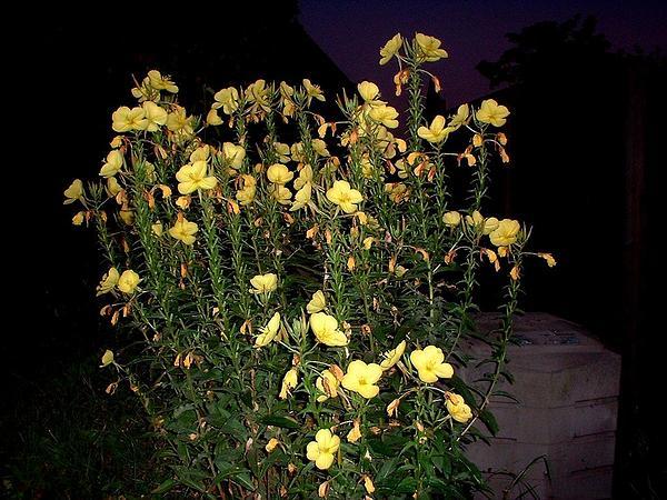 Evening Primrose (Oenothera) http://www.sagebud.com/evening-primrose-oenothera