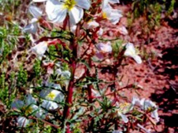 Pale Evening Primrose (Oenothera Pallida) http://www.sagebud.com/pale-evening-primrose-oenothera-pallida