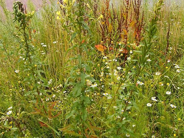 Northern Evening Primrose (Oenothera Parviflora) http://www.sagebud.com/northern-evening-primrose-oenothera-parviflora