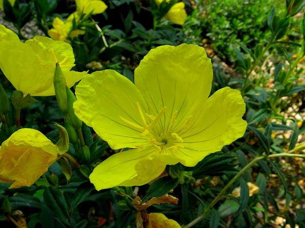 Little Evening Primrose (Oenothera Perennis) http://www.sagebud.com/little-evening-primrose-oenothera-perennis