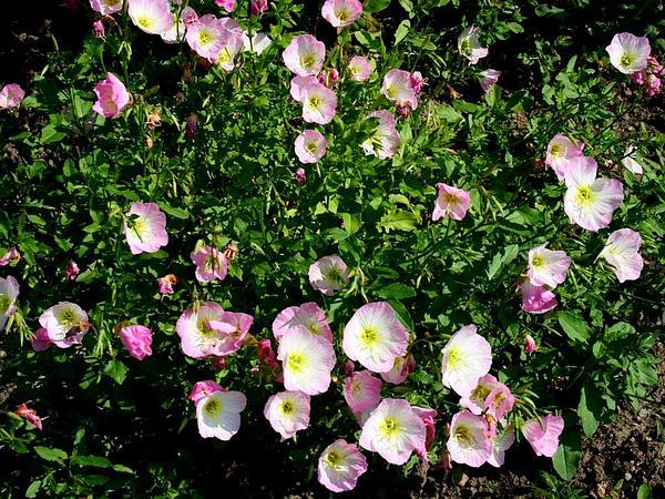 Pinkladies (Oenothera Speciosa) http://www.sagebud.com/pinkladies-oenothera-speciosa