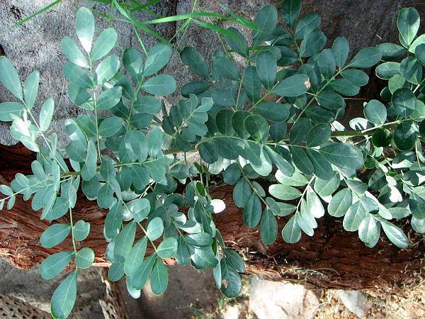 Desert Ironwood (Olneya Tesota) http://www.sagebud.com/desert-ironwood-olneya-tesota
