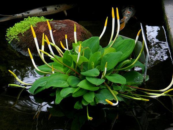 Goldenclub (Orontium Aquaticum) http://www.sagebud.com/goldenclub-orontium-aquaticum