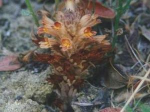 Parish's Broomrape