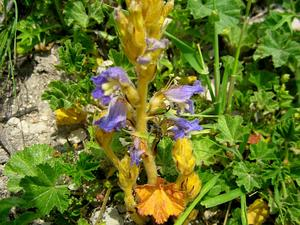 Hemp Broomrape