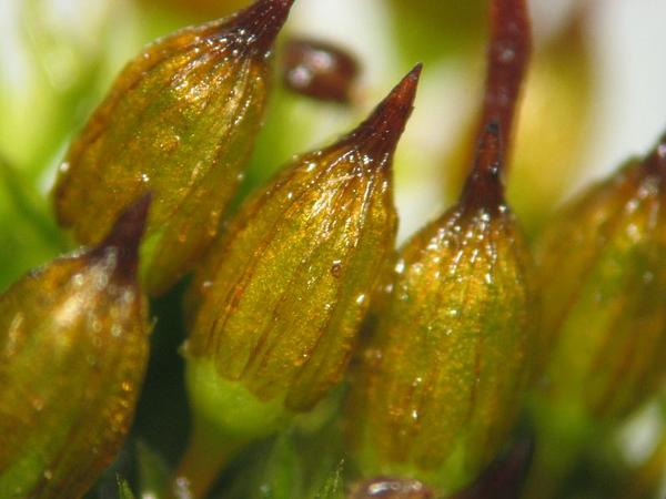 Orthotrichum Moss (Orthotrichum) http://www.sagebud.com/orthotrichum-moss-orthotrichum/