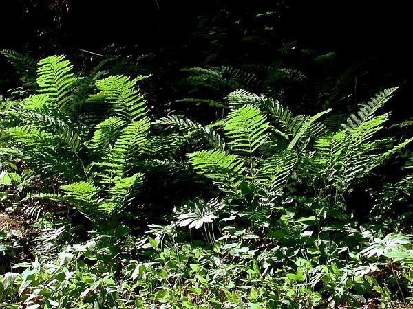 Interrupted Fern (Osmunda Claytoniana) http://www.sagebud.com/interrupted-fern-osmunda-claytoniana/