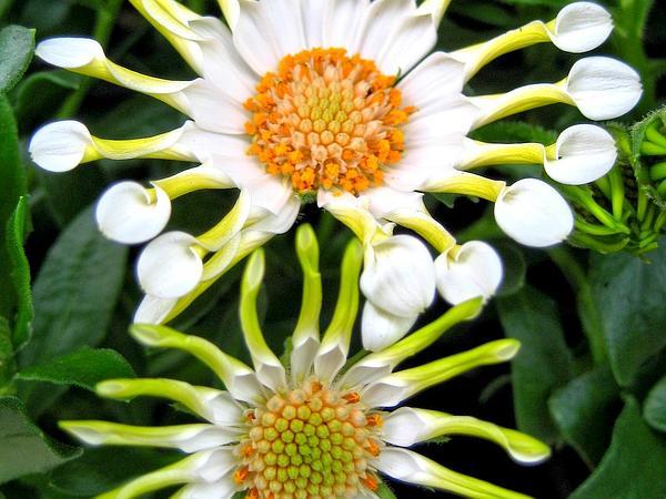 Blue And White Daisybush (Osteospermum Ecklonis) http://www.sagebud.com/blue-and-white-daisybush-osteospermum-ecklonis