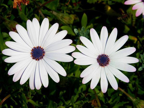 Blue And White Daisybush (Osteospermum Ecklonis) http://www.sagebud.com/blue-and-white-daisybush-osteospermum-ecklonis/