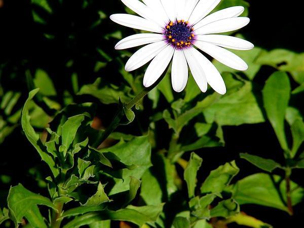 Shrubby Daisybush (Osteospermum Fruticosum) http://www.sagebud.com/shrubby-daisybush-osteospermum-fruticosum/