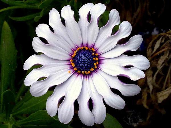 Daisybush (Osteospermum) http://www.sagebud.com/daisybush-osteospermum