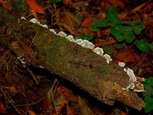 Redwood-Sorrel