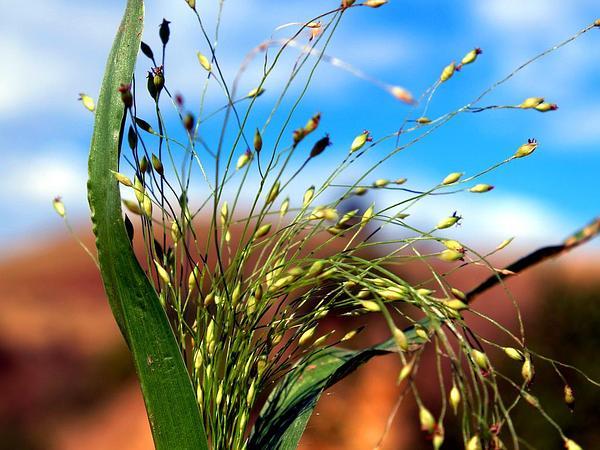 Witchgrass (Panicum Capillare) http://www.sagebud.com/witchgrass-panicum-capillare