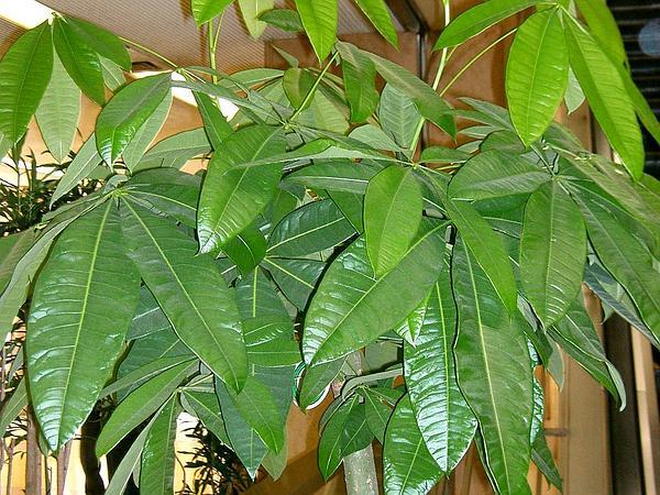 Pachira (Pachira) http://www.sagebud.com/pachira-pachira/