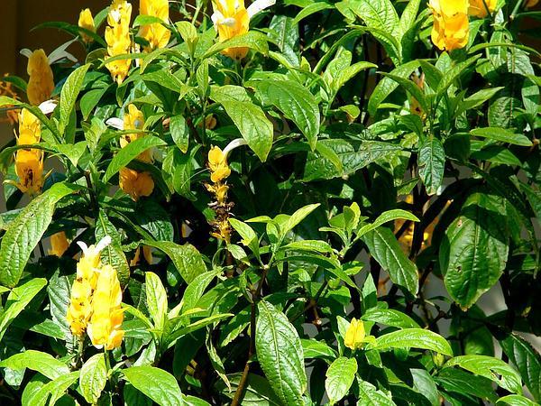 Pachystachys (Pachystachys) http://www.sagebud.com/pachystachys-pachystachys