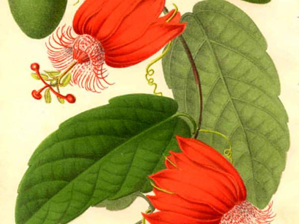Scarlet Passionflower (Passiflora Coccinea) http://www.sagebud.com/scarlet-passionflower-passiflora-coccinea