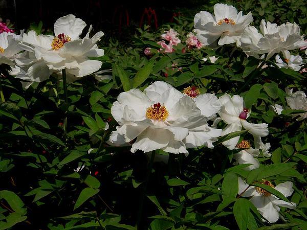Peony (Paeonia) http://www.sagebud.com/peony-paeonia/