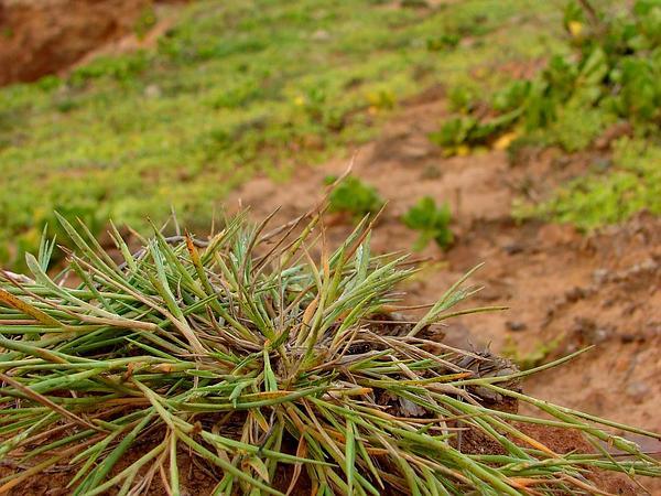 Faurie's Panicgrass (Panicum Fauriei) http://www.sagebud.com/fauries-panicgrass-panicum-fauriei