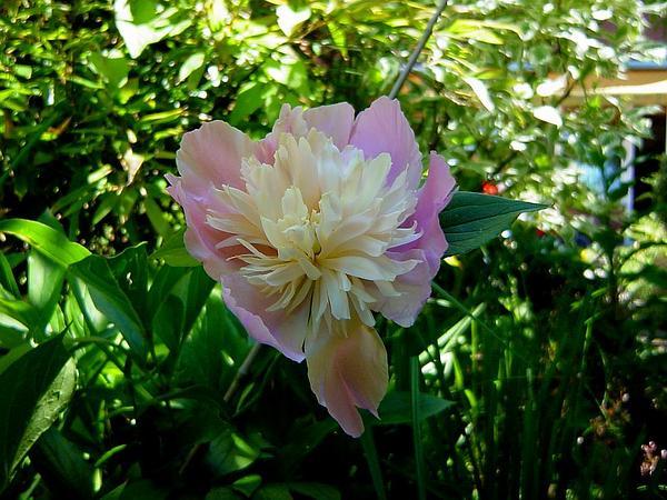 Chinese Peony (Paeonia Lactiflora) http://www.sagebud.com/chinese-peony-paeonia-lactiflora/