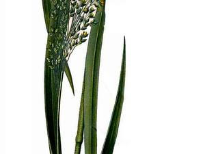 Broomcorn Millet