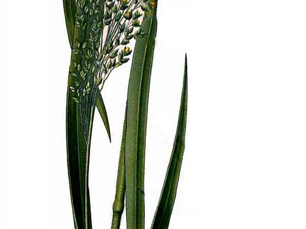 Broomcorn Millet (Panicum Miliaceum) http://www.sagebud.com/broomcorn-millet-panicum-miliaceum/