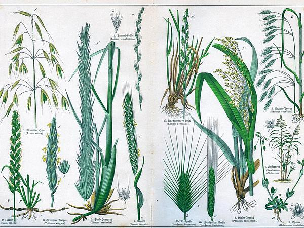 Broomcorn Millet (Panicum Miliaceum) http://www.sagebud.com/broomcorn-millet-panicum-miliaceum