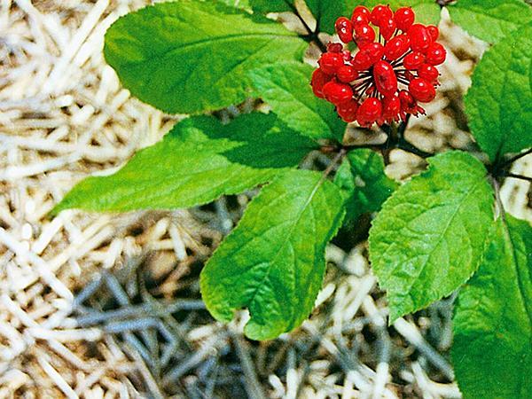 Ginseng (Panax) http://www.sagebud.com/ginseng-panax/