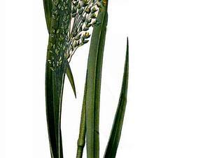 Panicgrass