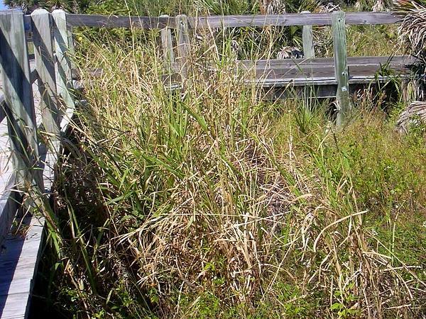 Panicgrass (Panicum) http://www.sagebud.com/panicgrass-panicum