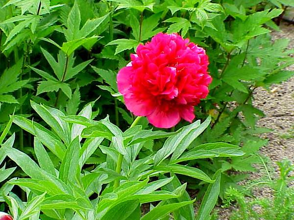 Common Peony (Paeonia Officinalis) http://www.sagebud.com/common-peony-paeonia-officinalis
