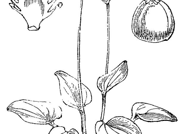 Marsh Grass Of Parnassus (Parnassia Palustris) http://www.sagebud.com/marsh-grass-of-parnassus-parnassia-palustris