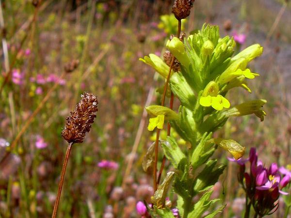 Glandweed (Parentucellia) http://www.sagebud.com/glandweed-parentucellia
