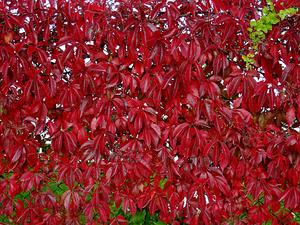PARTH3/-_Parthenocissus_quinquefolia_01_-_300.jpg