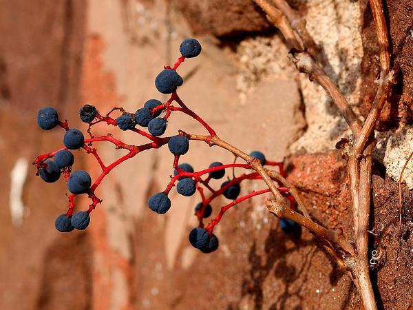 Creeper (Parthenocissus) http://www.sagebud.com/creeper-parthenocissus/