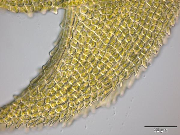 Angled Paludella Moss (Paludella Squarrosa) http://www.sagebud.com/angled-paludella-moss-paludella-squarrosa