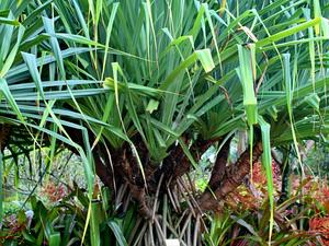 Tahitian Screwpine