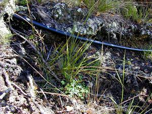 Parkland Panicgrass