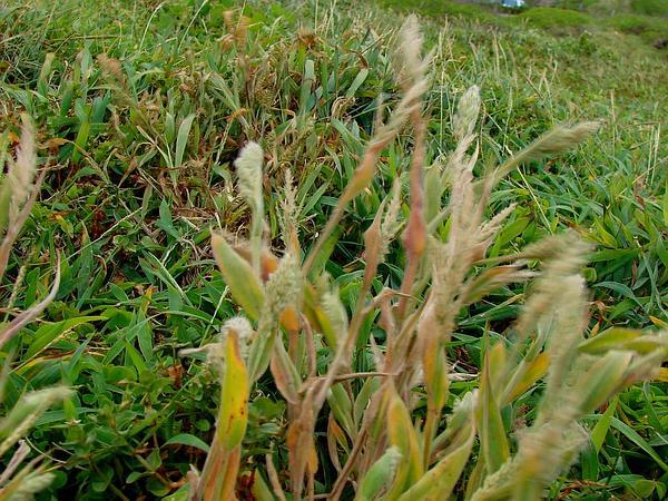 Torrid Panicgrass (Panicum Torridum) http://www.sagebud.com/torrid-panicgrass-panicum-torridum