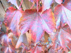 PATR6/Boston_Ivy_Autumn_300.JPG